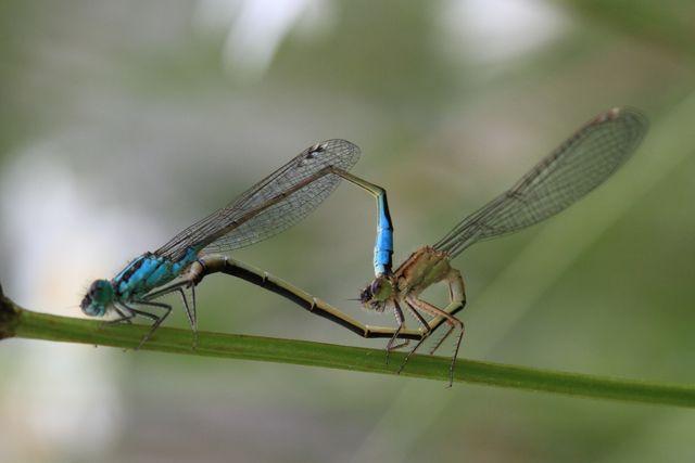Couple d'odonates pour identification [Ischnura elegans] Rond-p10