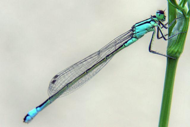 Odonate pour identification [Ischnura elegans] Zygopt10