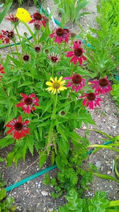 Iris en situation, dans les jardins 10418410