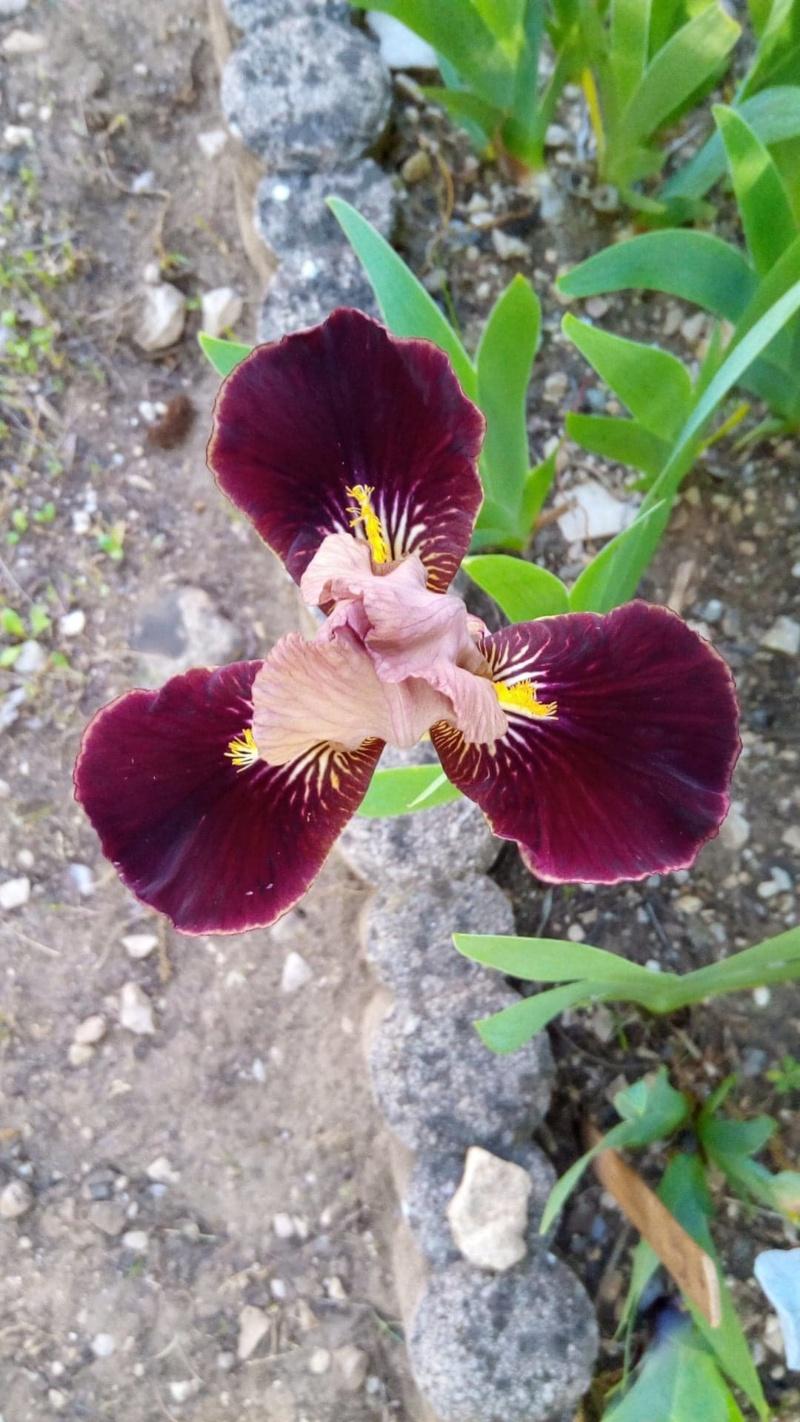 Petit iris (30 cm) 111