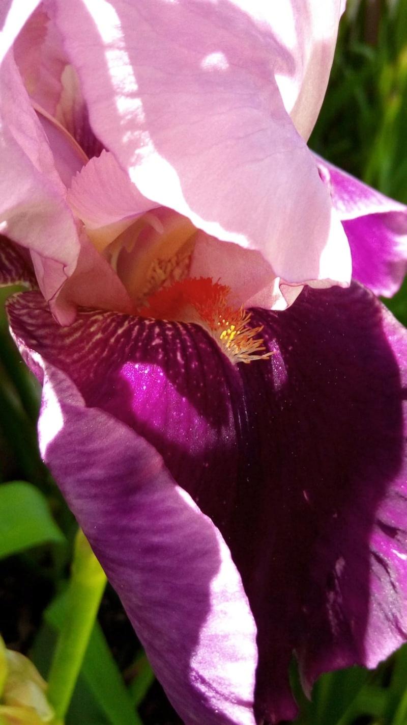Nouvel iris rose et bordeaux 124