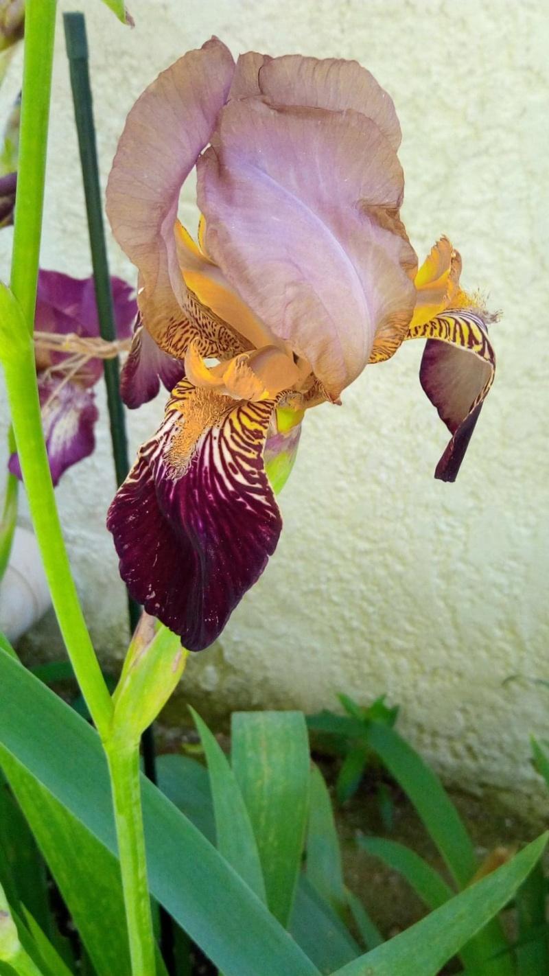 Iris couleur sable et bordeaux 127