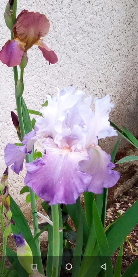 Iris 'Beatrice Cherbuy' [Identification] Iris parme et ondulé 12_mai15