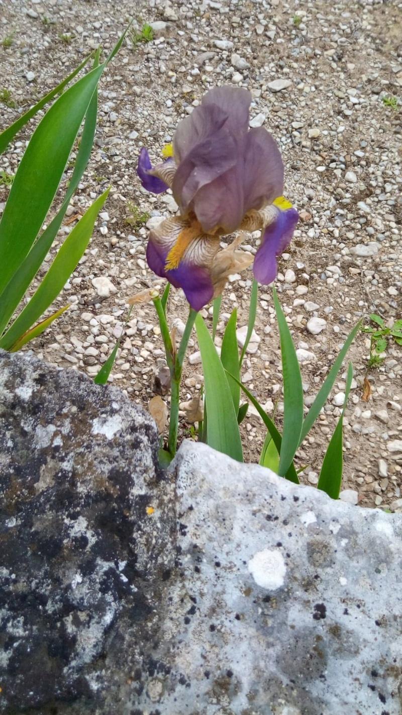 Iris belles couleurs mais inconnu 15_mai14