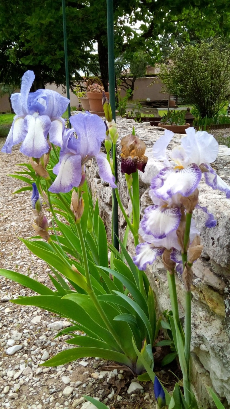Iris en situation, dans les jardins 17903810