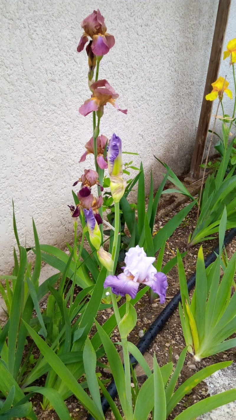 Iris 'Beatrice Cherbuy' [Identification] Iris parme et ondulé 18649310