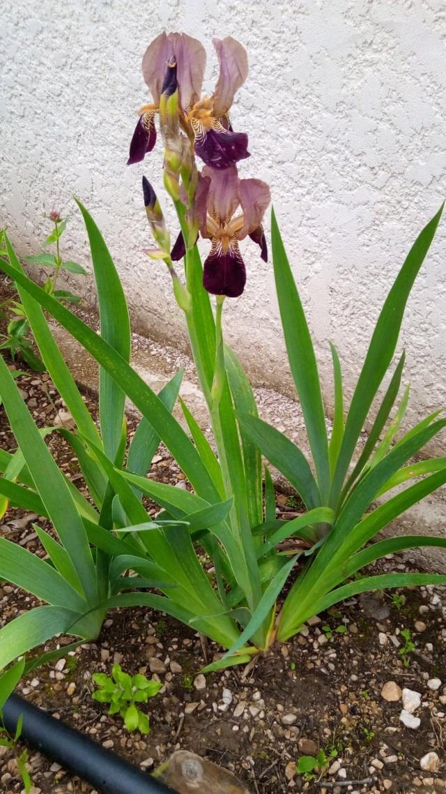 Iris couleur sable et bordeaux 18_mai12