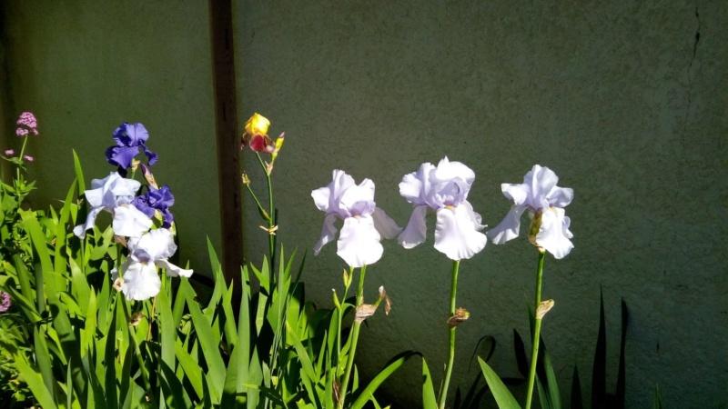 Iris en situation, dans les jardins 18_mai13
