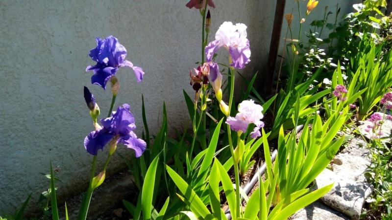 Iris en situation, dans les jardins 18_mai14