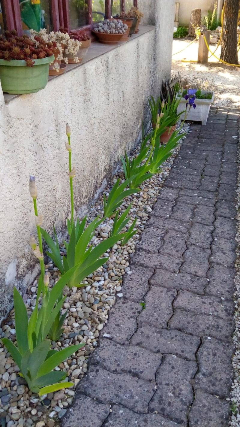Iris en situation, dans les jardins 19_avr11