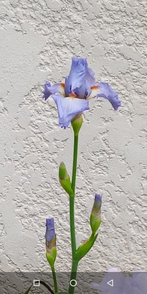 Iris mauve à barbe orange 1_6_ma10