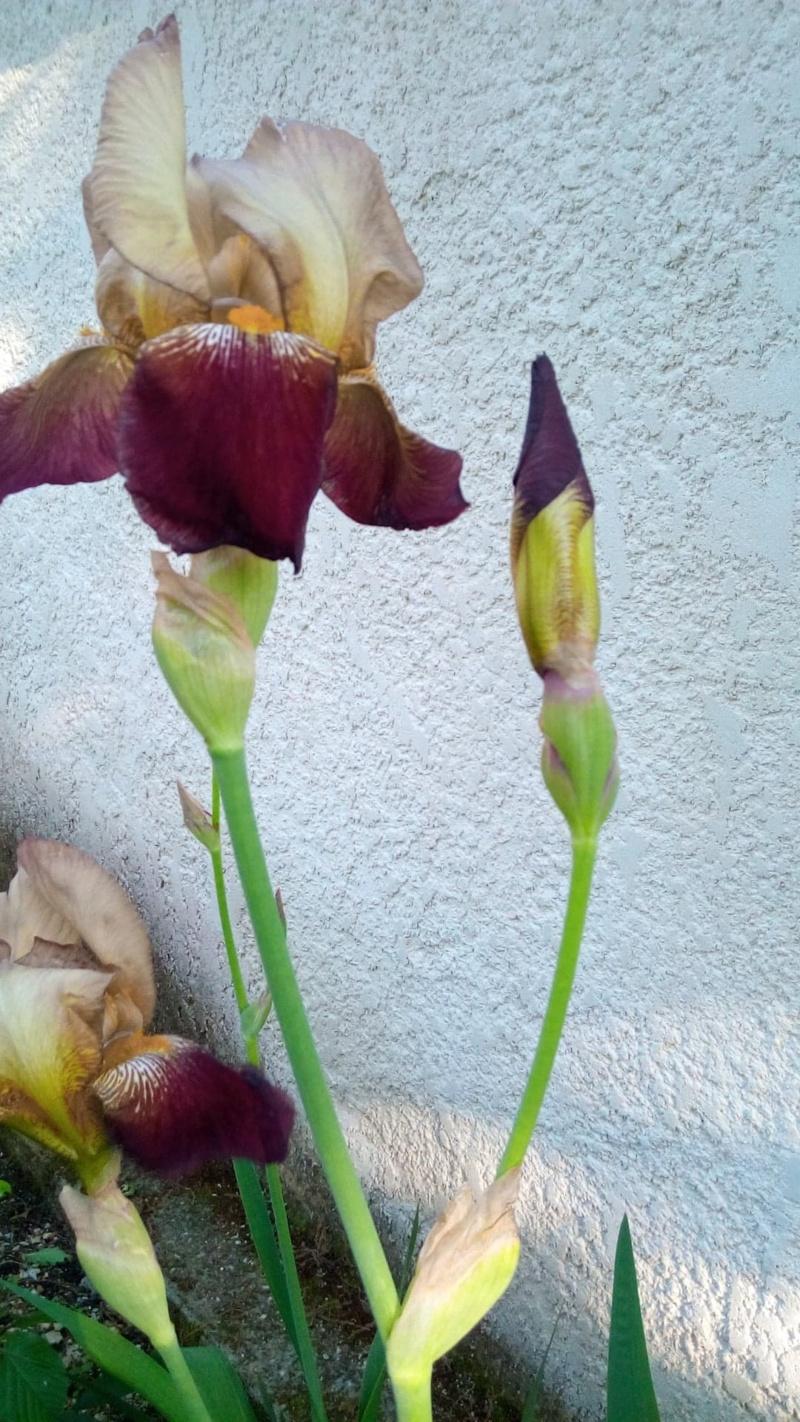 Grand iris robuste 212