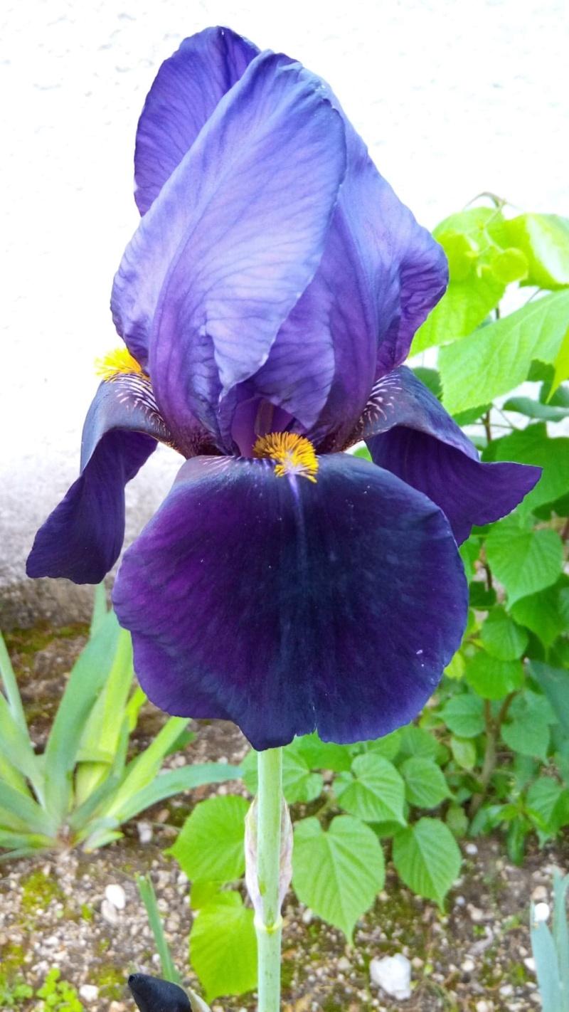 Grand iris violet profond 217