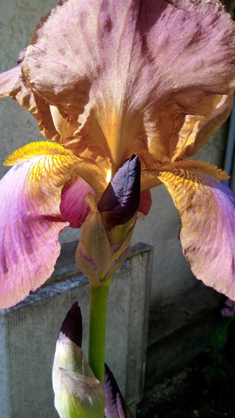 Autre iris rose plus foncé que Easter Bonnet 219