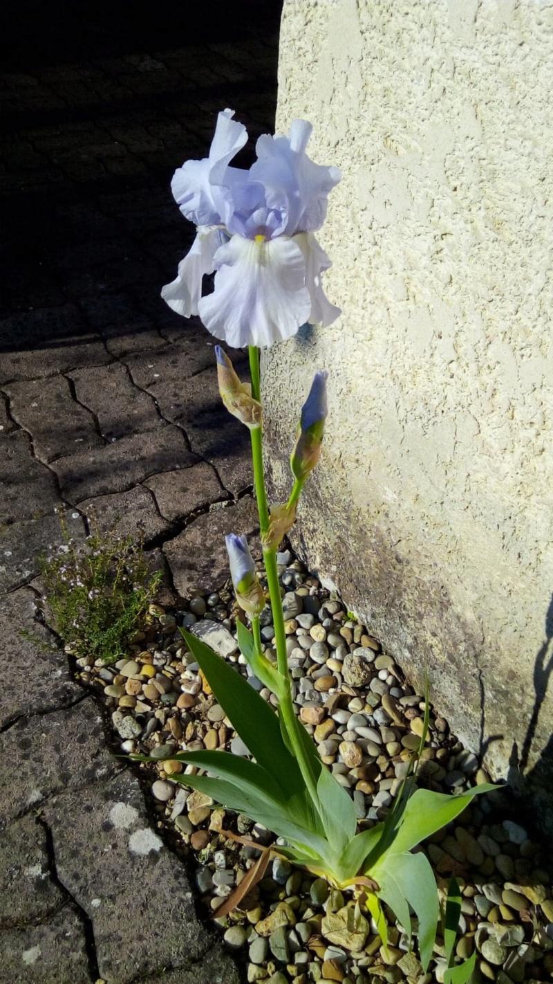 Grand iris mauve très pâle 24_avr10