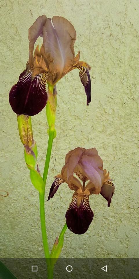 Iris couleur sable et bordeaux 311