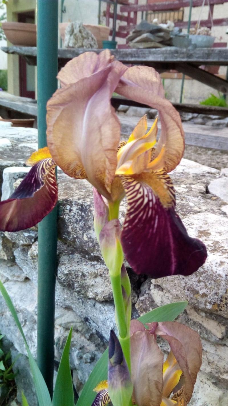 Iris bordeaux cherche nom 312