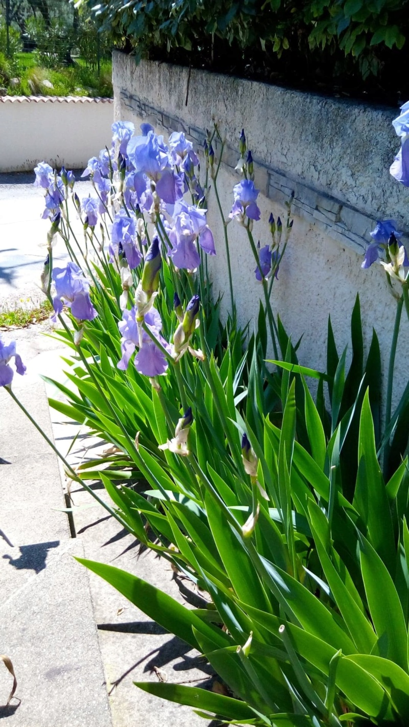 Iris mauve commun 313