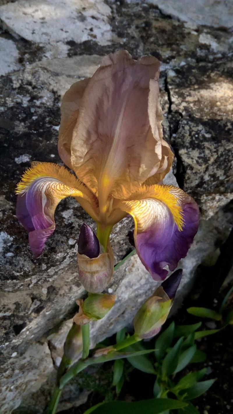 Iris belles couleurs mais inconnu 3_mai_11
