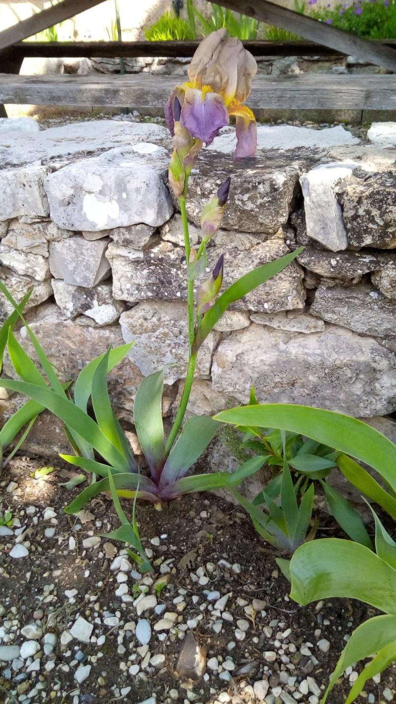 Iris belles couleurs mais inconnu 3_mai_12