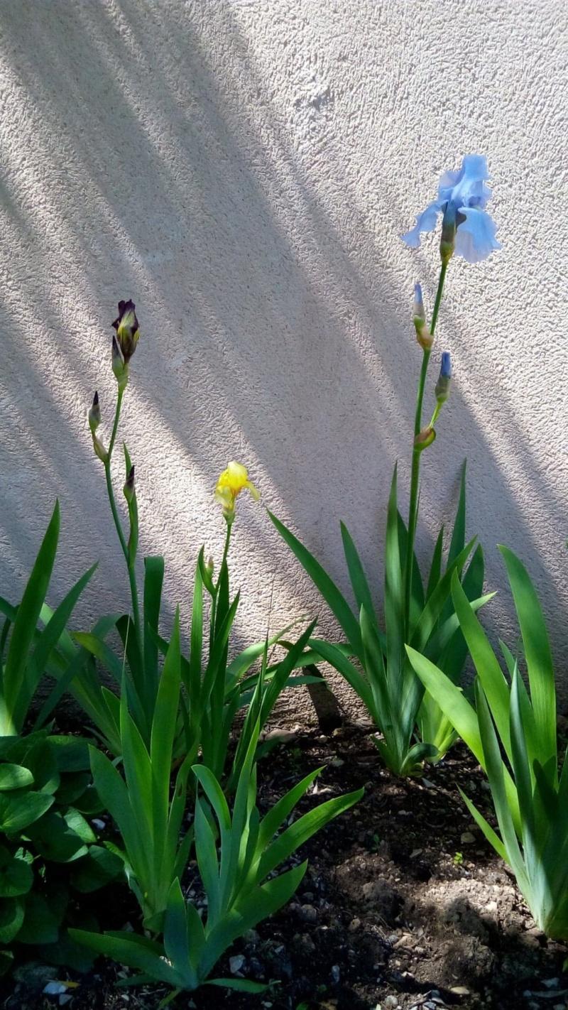 Iris jaune intermédiaire 413