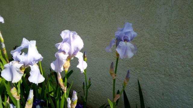 Grand iris mauve très pâle 415