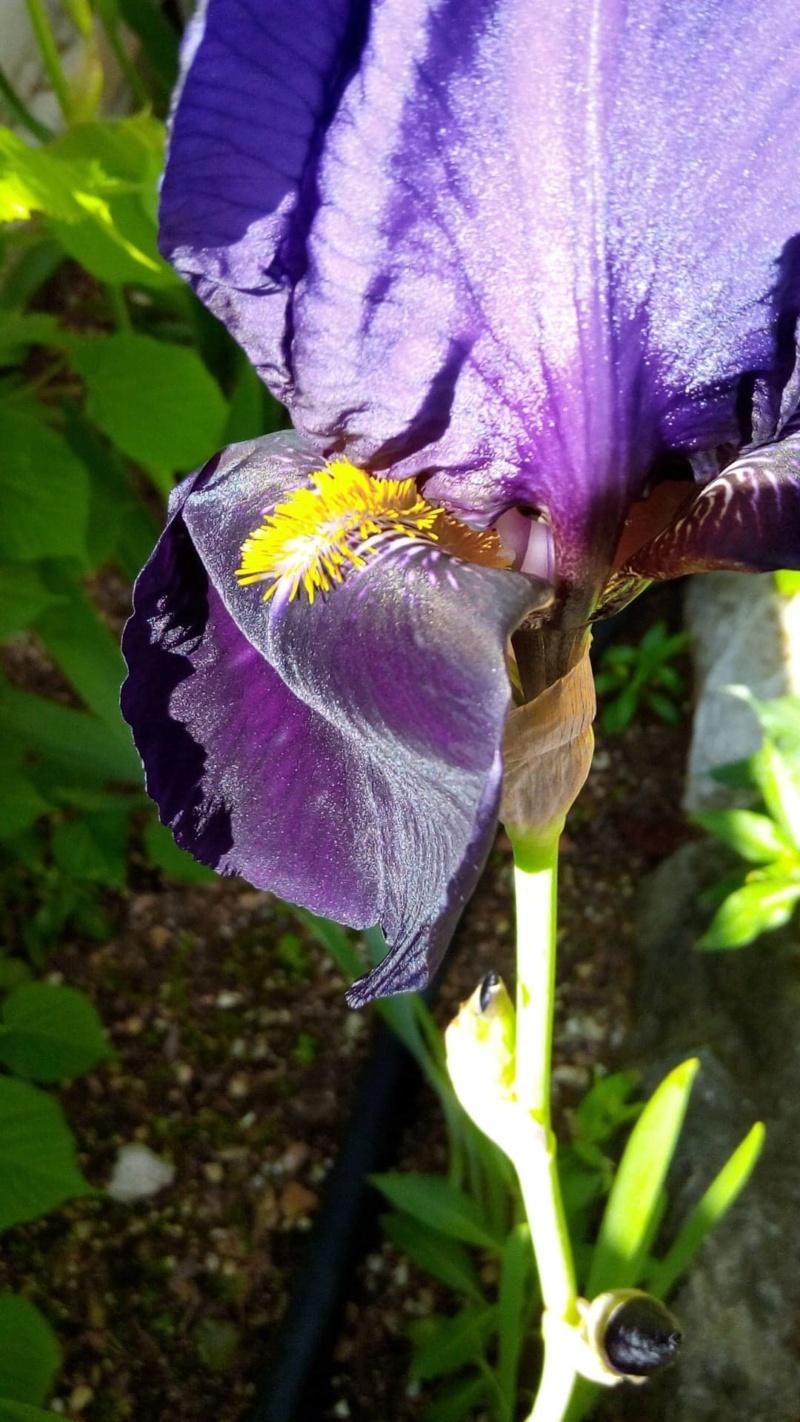 Grand iris violet profond 417