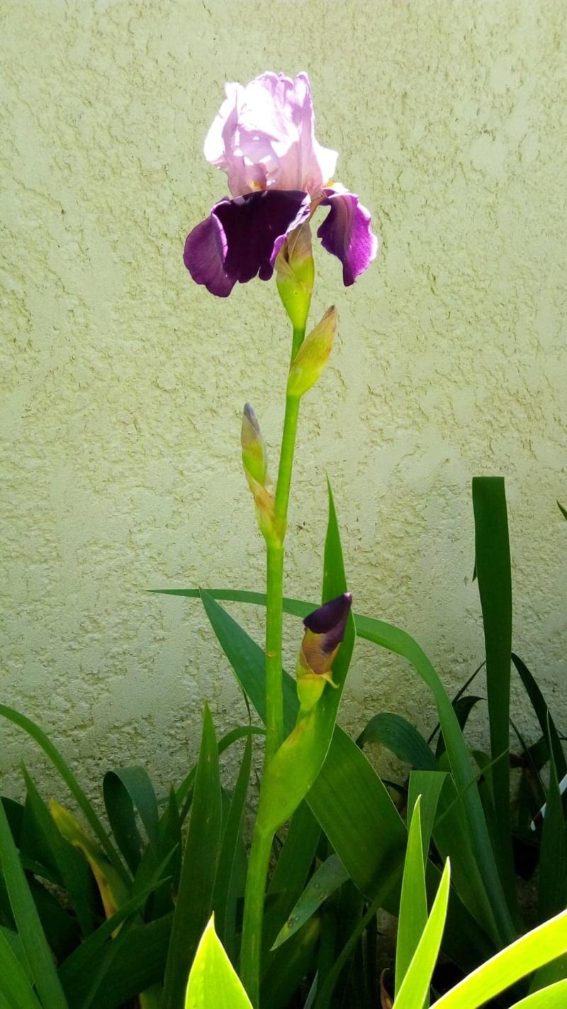 Nouvel iris rose et bordeaux 418