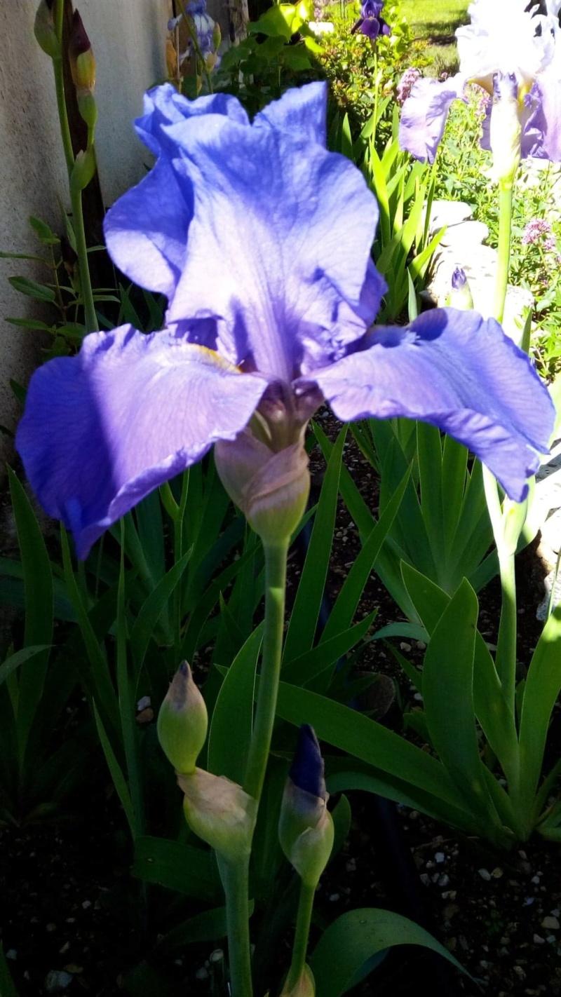 Iris Self  bleu 419