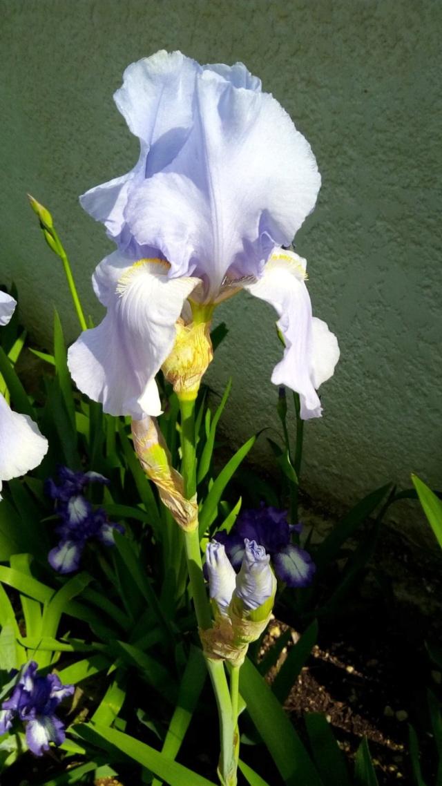 Grand iris mauve très pâle 512