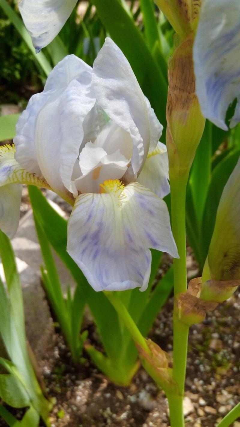 Petit iris blanc piqueté de mauve 516