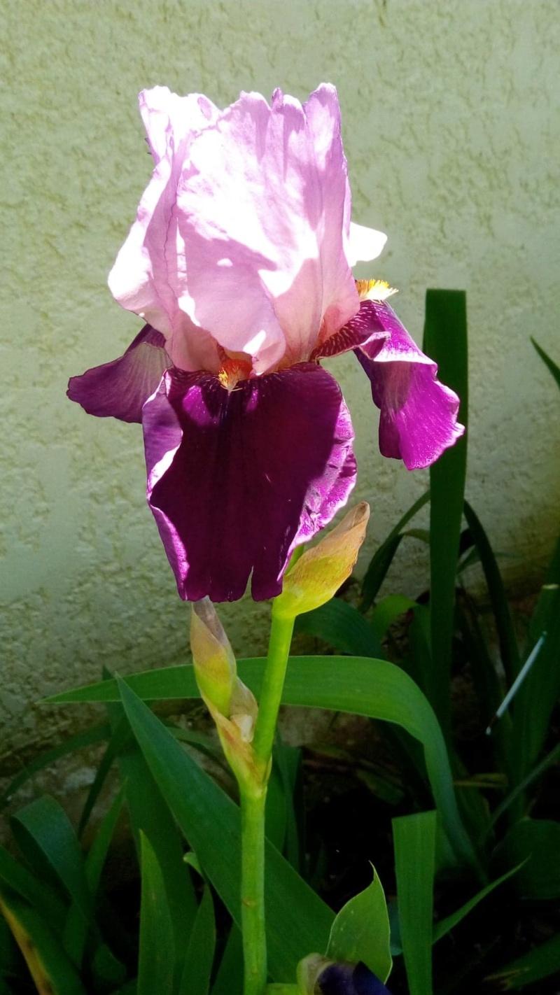 Nouvel iris rose et bordeaux 517