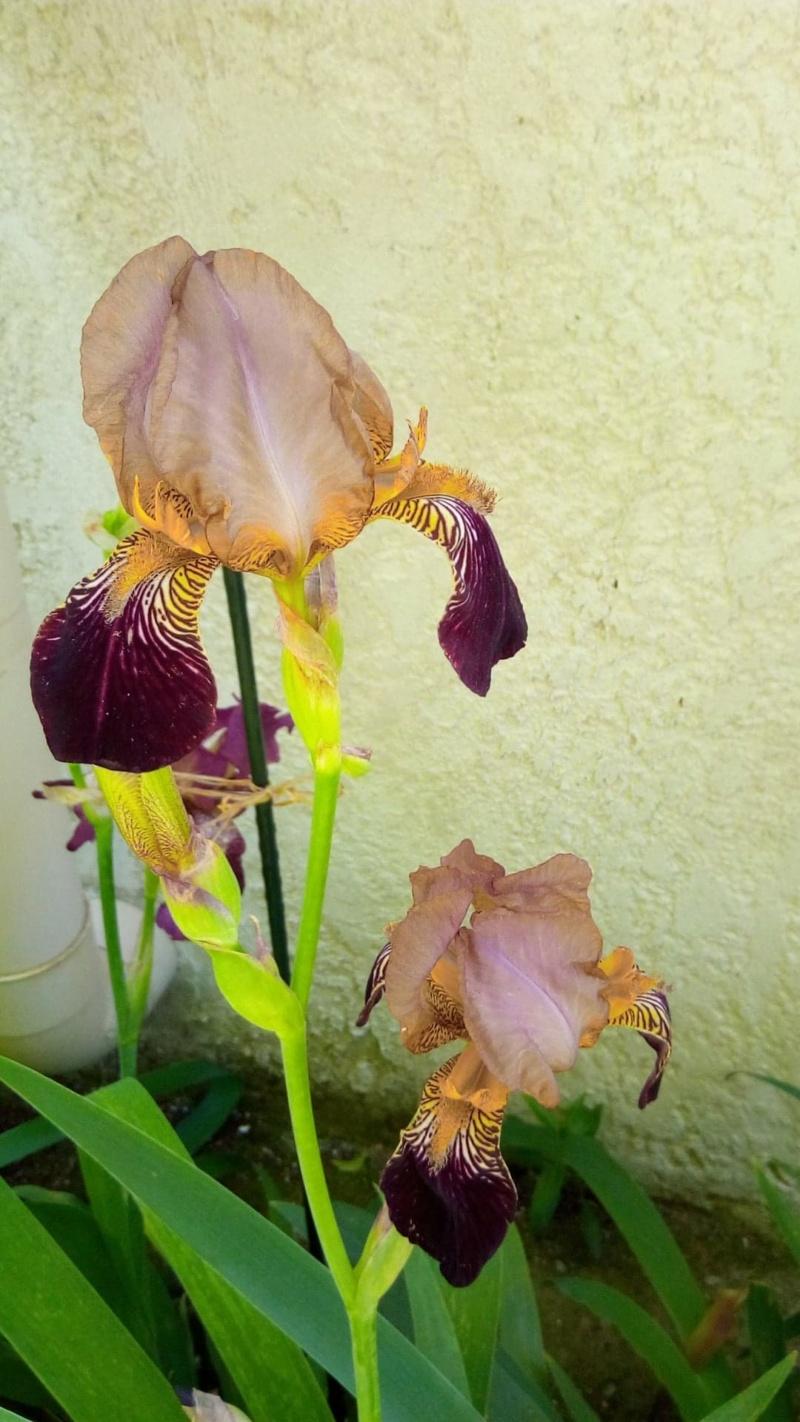 Iris couleur sable et bordeaux 519