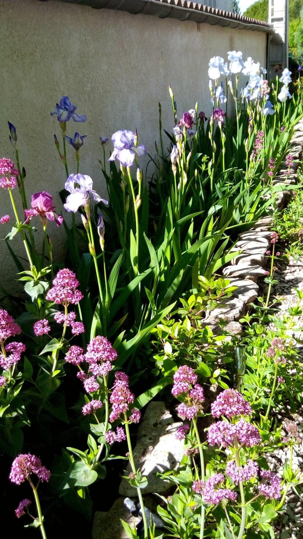 Iris en situation, dans les jardins 6_mai11