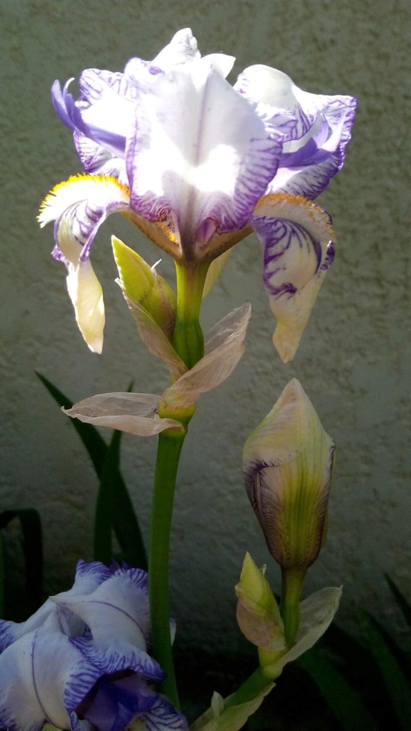 Iris blanc veiné de mauve 6_mai_10
