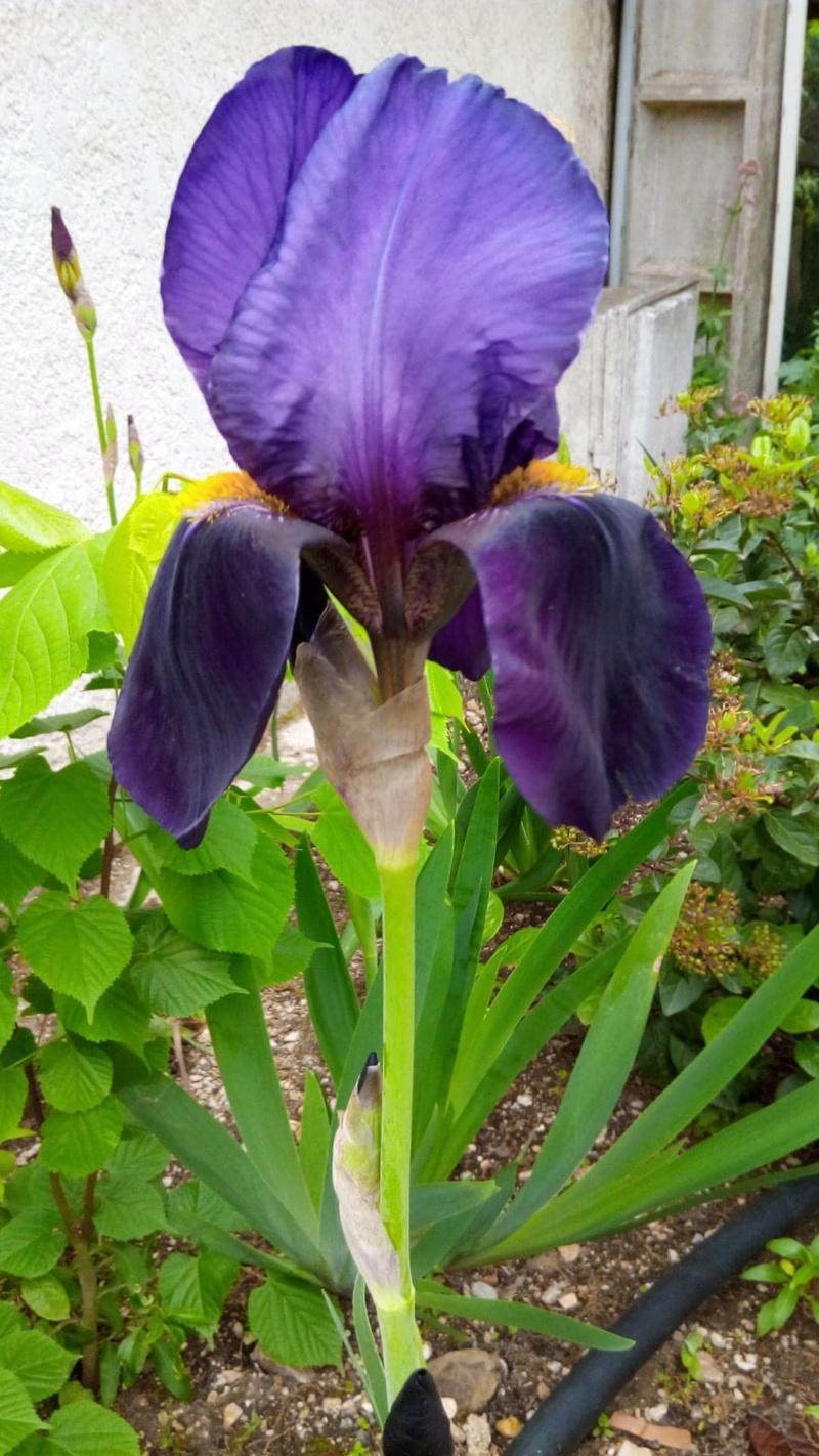 Grand iris violet profond 6_mai_11