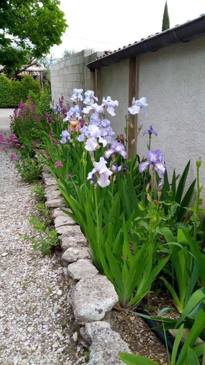 Iris en situation, dans les jardins 6_mai_13