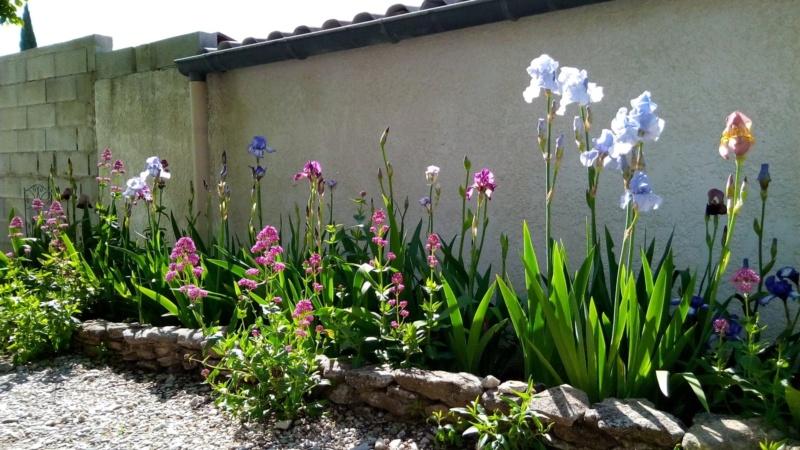 Iris en situation, dans les jardins 6_mai_14