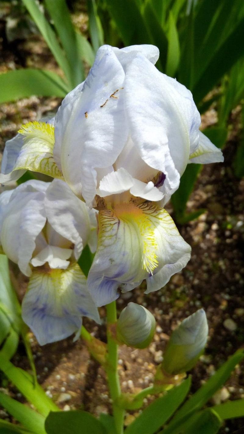 Petit iris blanc piqueté de mauve 710