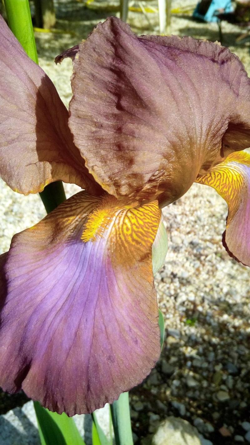 Autre iris rose plus foncé que Easter Bonnet 711