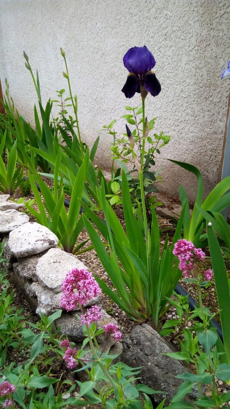 Grand iris violet profond 7_6_ma10