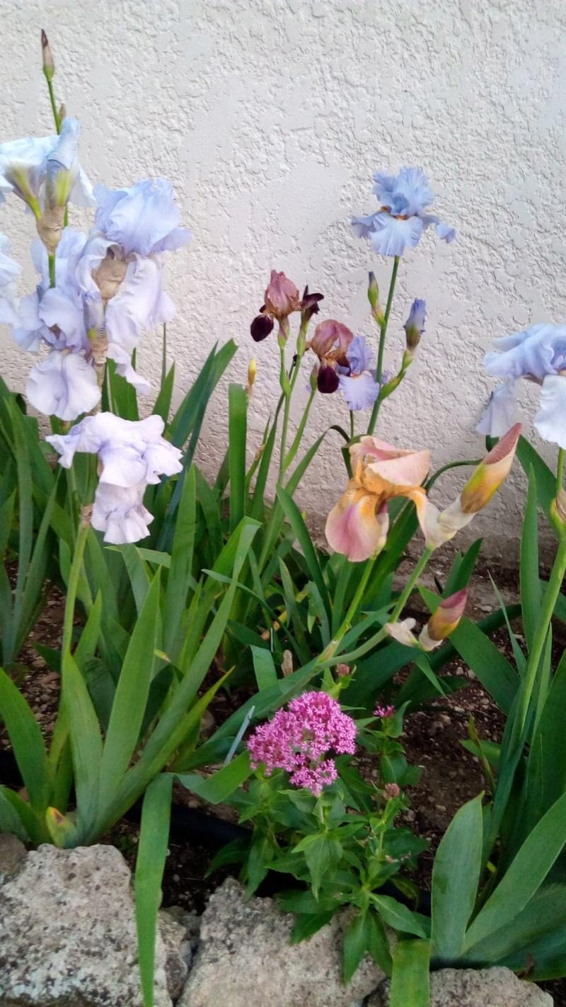 Iris en situation, dans les jardins 8_mai12