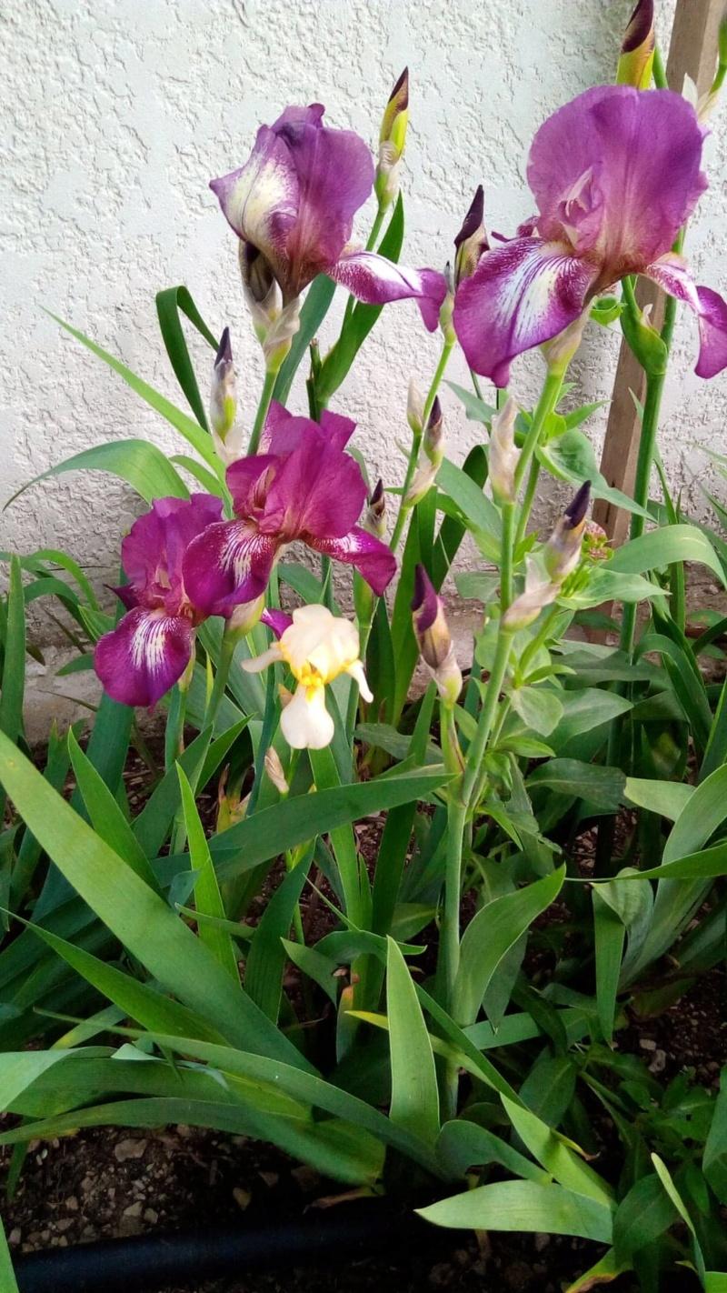 Iris en situation, dans les jardins 8_mai_15