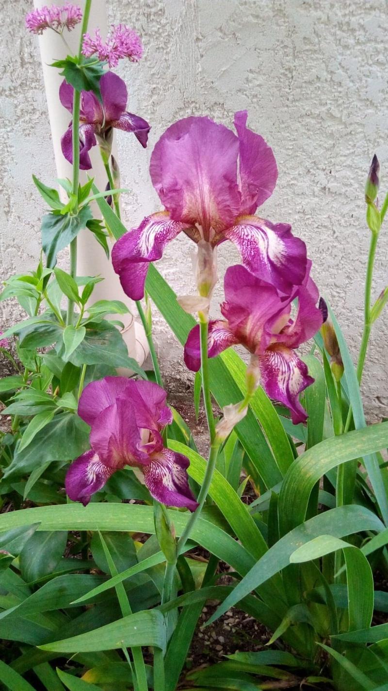 Nouvel iris plicata rose soutenu (ou lie de vin) 9_mai_14