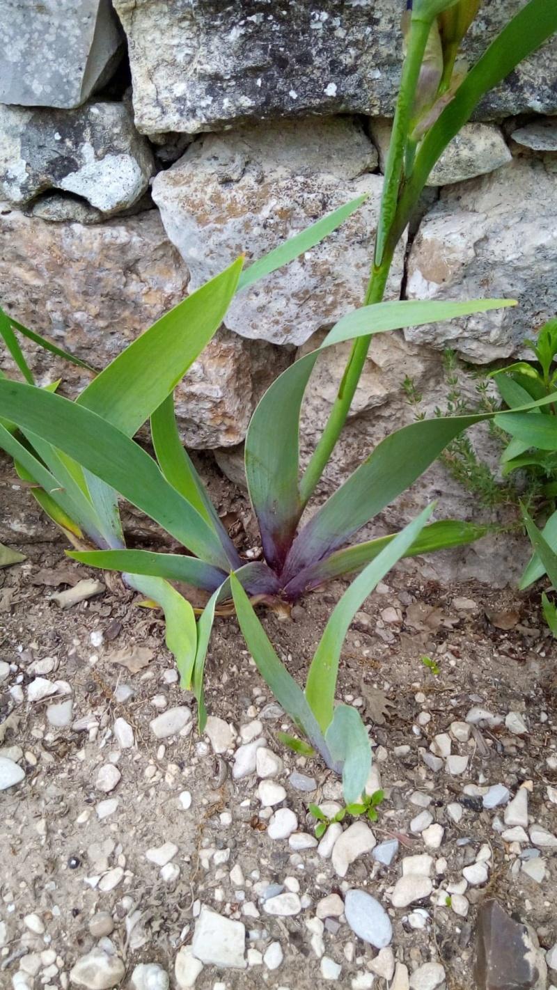 Iris belles couleurs mais inconnu Base_f10