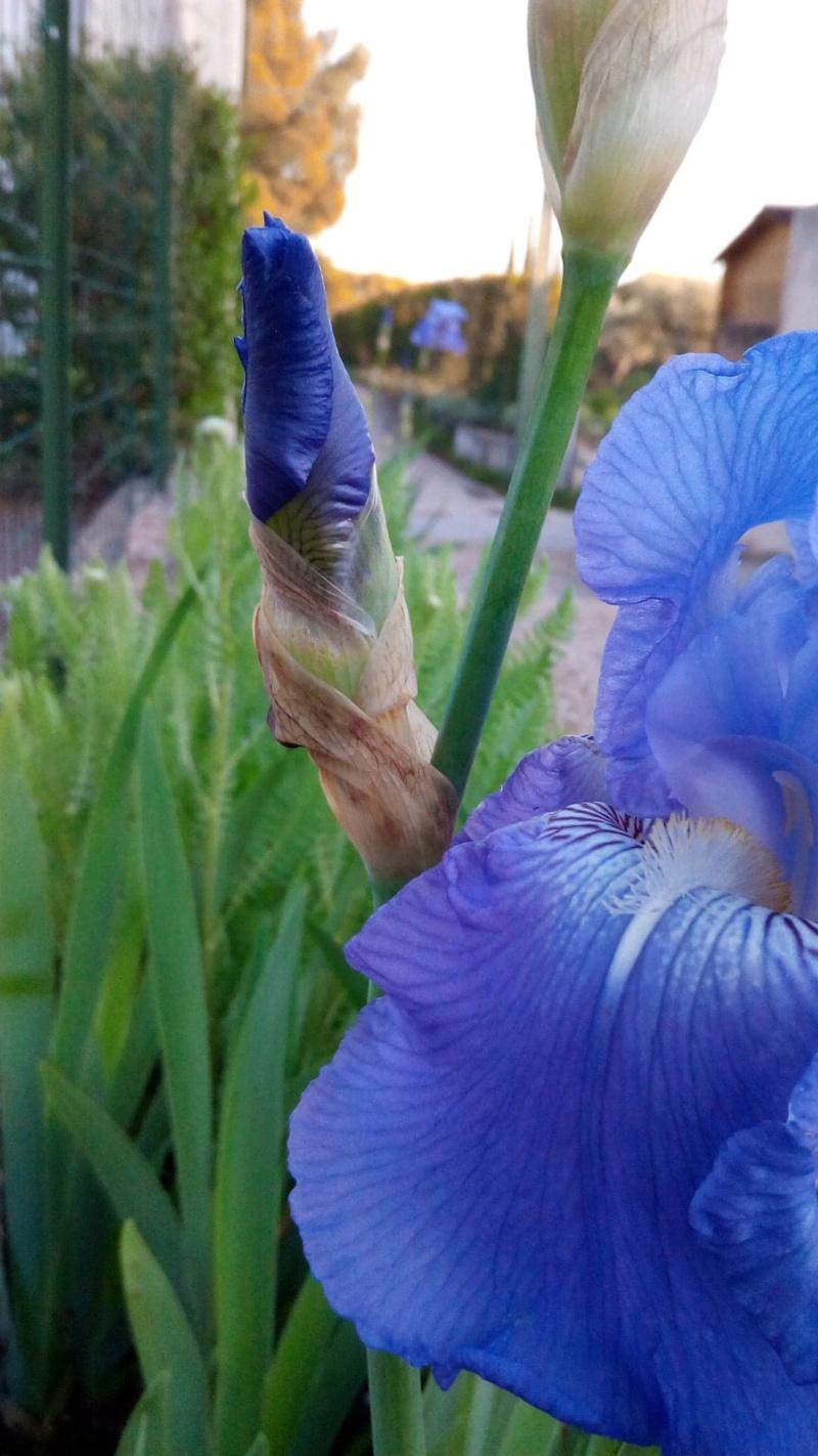 Iris bleu moyen Bouton12