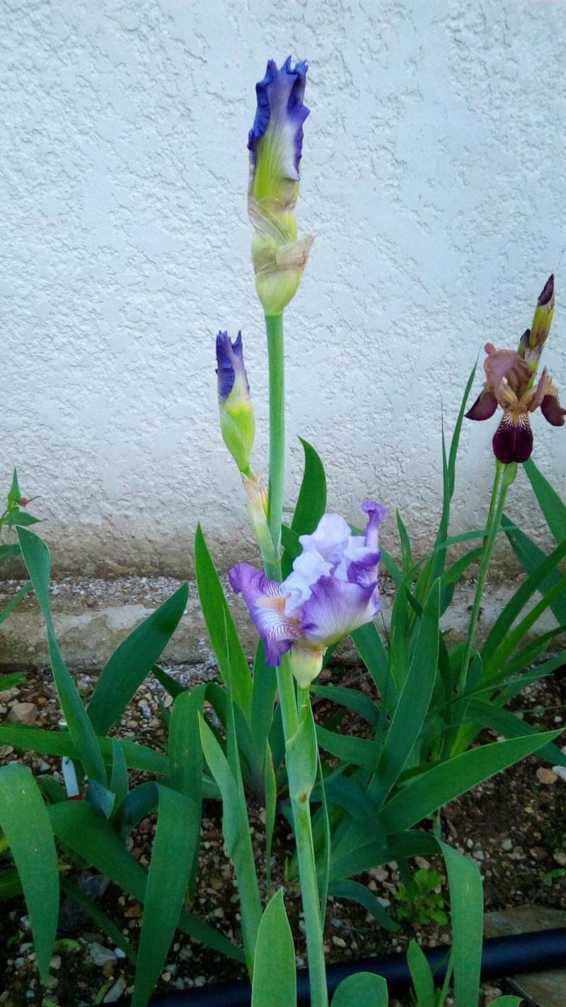 Iris 'Beatrice Cherbuy' [Identification] Iris parme et ondulé En_bou10