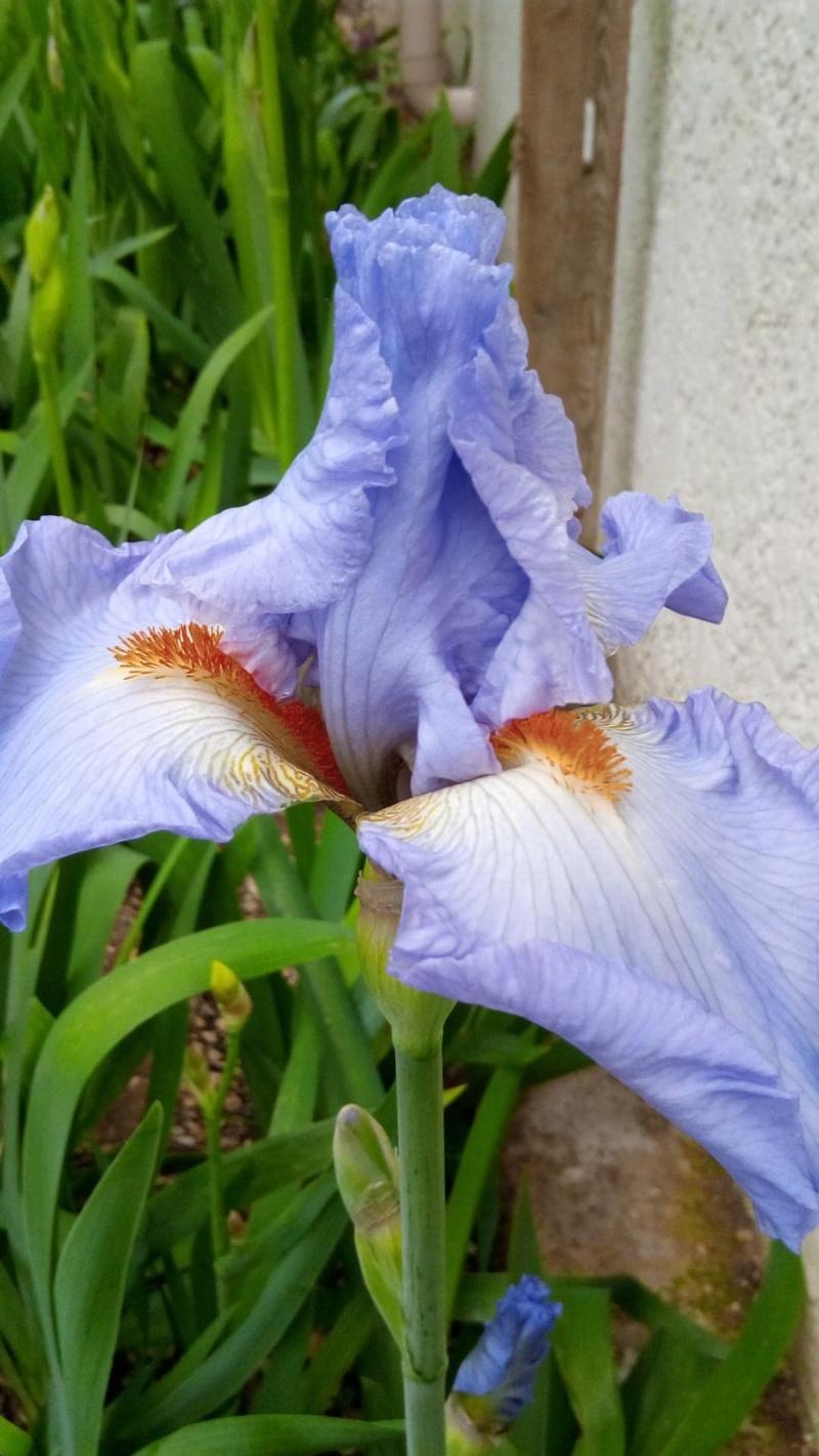 Iris mauve à barbe orange Frange10