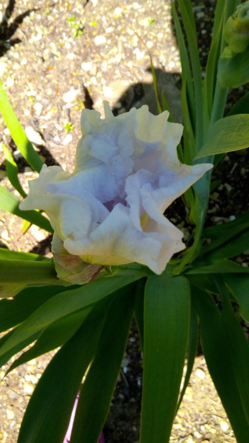 Grand iris blanc Iiris_10