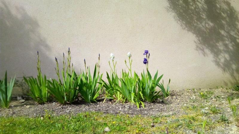 Iris en situation, dans les jardins Iris_a17